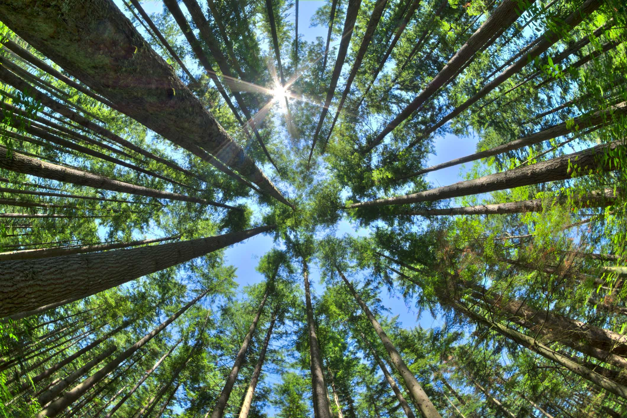 Fisheye HDR view looking directly up in dense Canadian pine forest with sun glaring in clear blue sky as trees reach for the sky